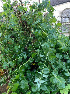 Grow salad burnet without a garden, in a container.