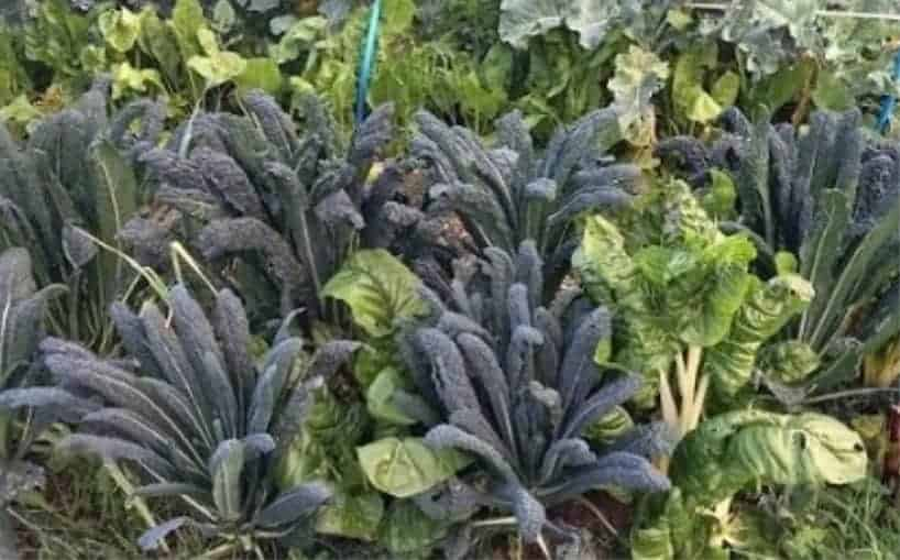 Brassicas will grow in shade