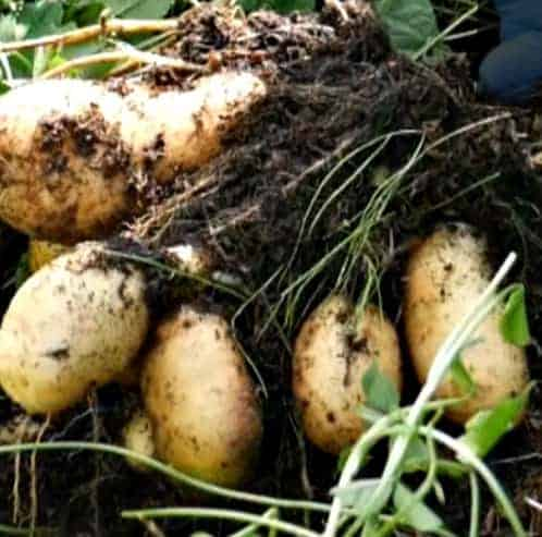 Potatoes being harvested.
