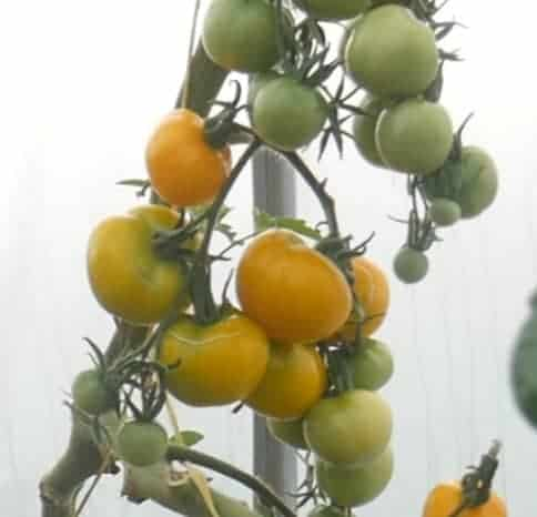 Yellow tomatoes growing on their vine.