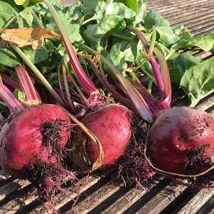 Harvested beets.