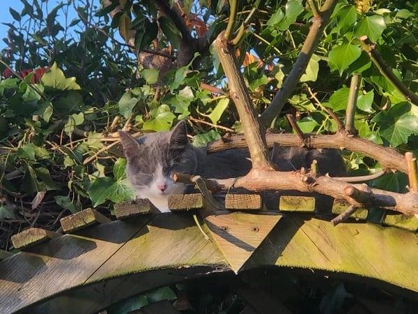 Cat asleep on garden arch.