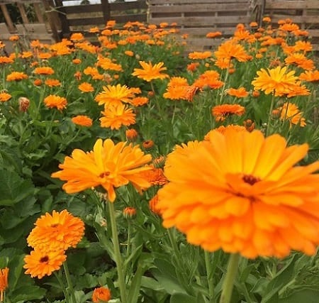 gardening mistakes with edible flowers