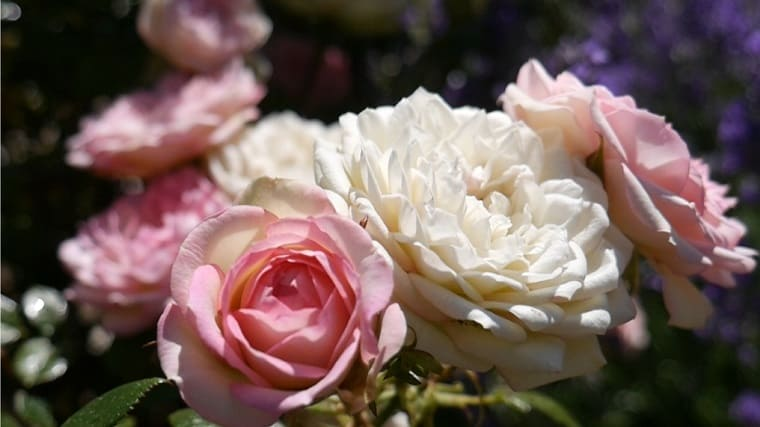 Roses in bloom, the petals are ideal for homemade pot pourri.