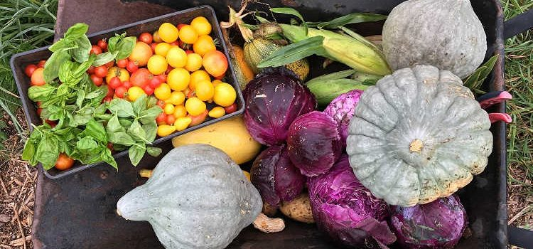 Freshly harvested vegetables in a wheelbarrow