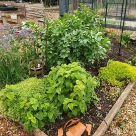 Perennial Herbs in the Kitchen Garden