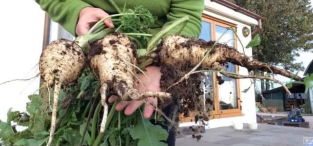3 large parsnips